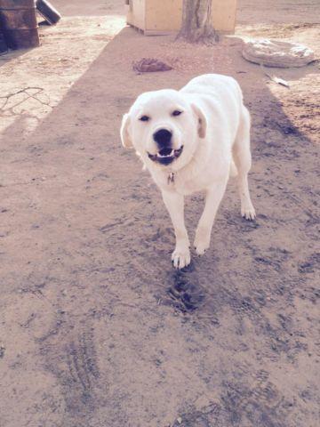 Akbash pup/dog