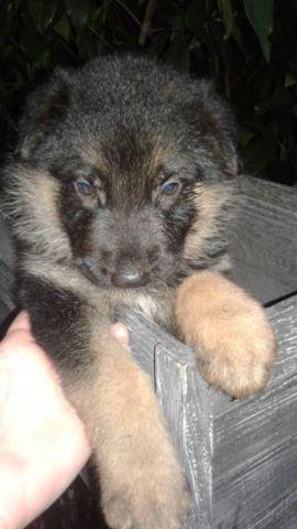 AKC German Shepherds pup Import lines