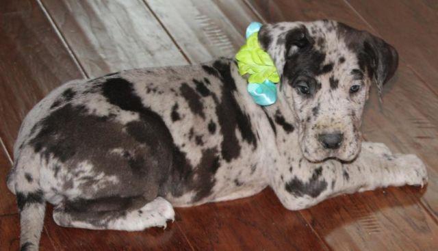 AKC--Great Dane Puppies--Ready 3/20/15--$900
