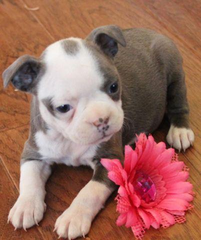 Akc- Boston Terrier puppies--Ready to go!