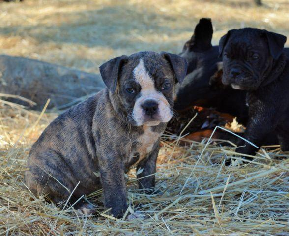 Olde English Bulldogge puppies-10 weeks old
