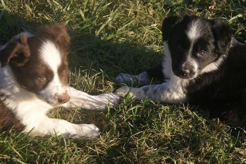 ABC Border Collie puppies-8 weeks