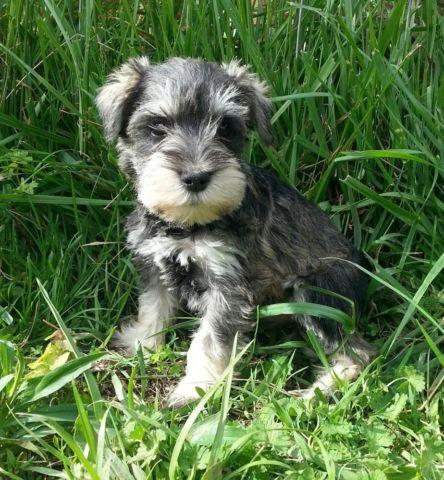 Family Raised Miniature Schnauzer Puppies 7 Weeks For Sale In