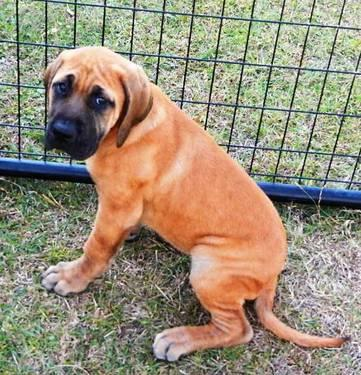 AKC Registered English Mastiff puppies- ONLY 2 LEFT!!!