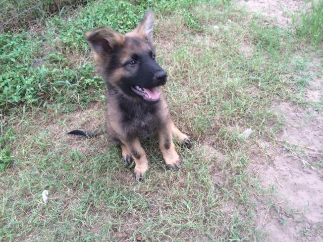 Pure Breed Registered German Shepherd Puppies - 11 weeks Old
