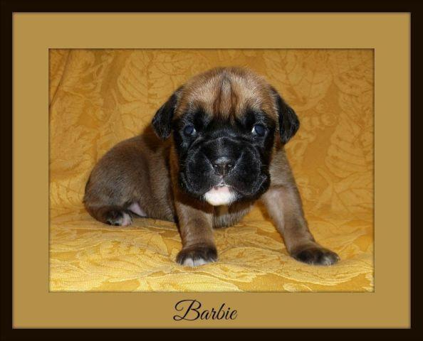 AKC Ch Bloodline Female Boxer Puppies - 2 weeks old