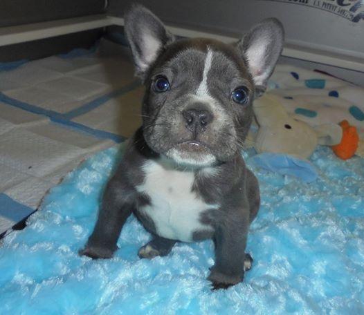 Gorgeous AKC French Bulldog Puppies - $3500