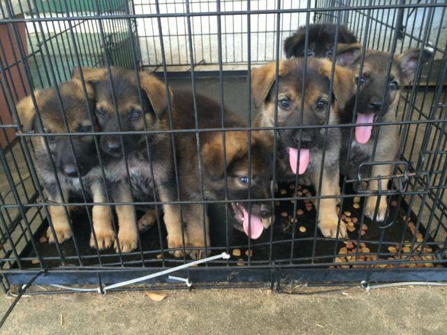Beautiful Pure Breed Registered German Shepherd Puppies - 8 Weeks Old
