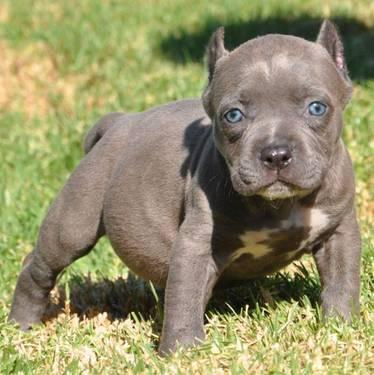 Pitbull Puppies with Cropped Ears