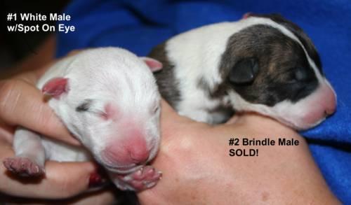 AKC English Bull Terrier Puppies - HOPI