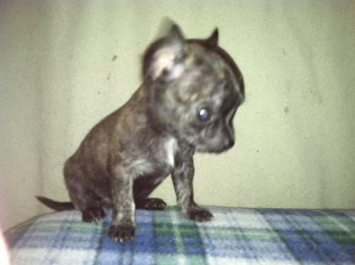 Apple Head Ckc Chihuahua Puppies Price Reduced For Sale In