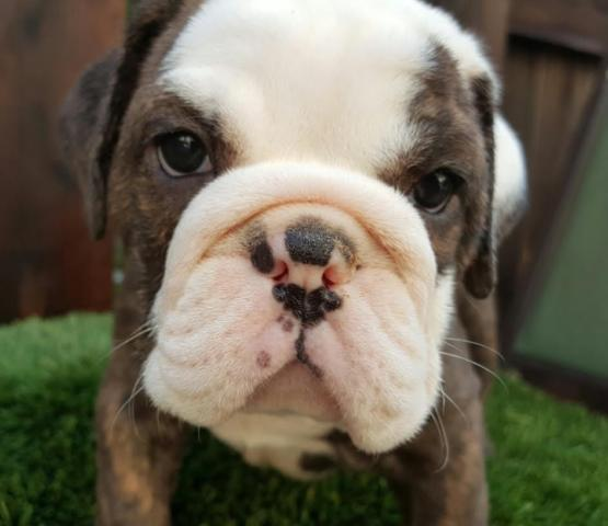 AKC English Bulldog Puppies - Sacramento!