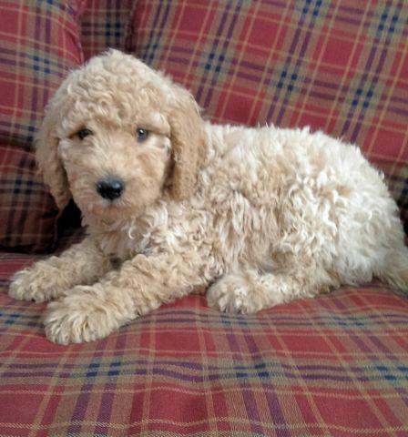 ADORABLE Second Generation Goldendoodle puppies~ 10 weeks old