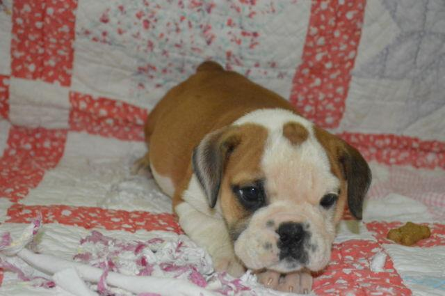 Adorable AKC English Bulldog Puppies 10 weeks old