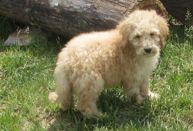 Mini Mulitigene Austalian Labradoodle Puppies 11 weeks old for Sale