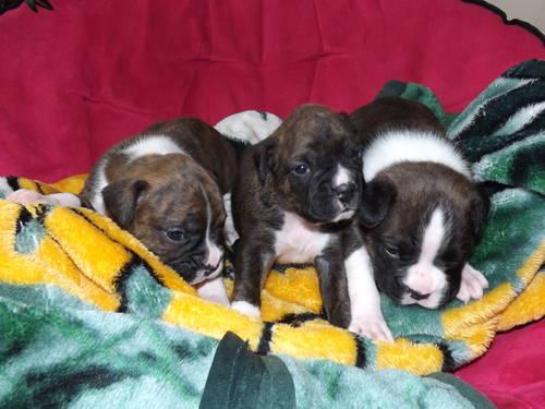 CKC Boxer puppies