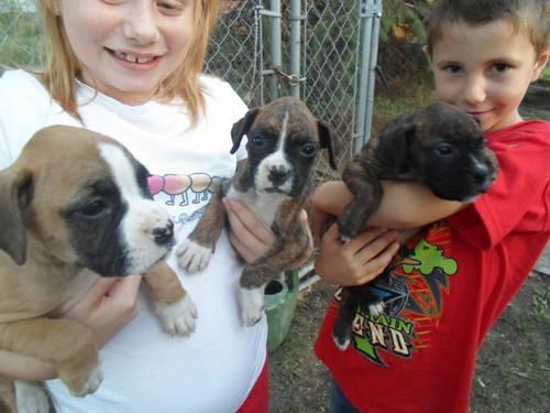 Akc Boxer Puppies For Sale In Shipshewana Indiana Classified