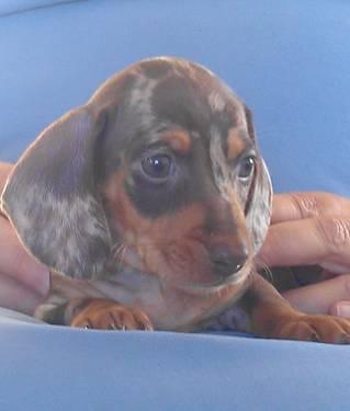 Chocolate/Tan Dachshund puppies