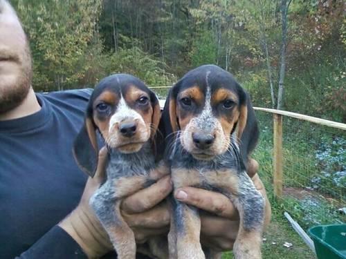 daschund/beagle puppies