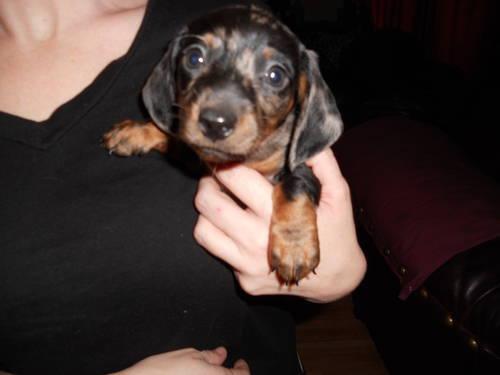 Mini Dachshund Puppies For Sale In Watervliet Michigan Classified