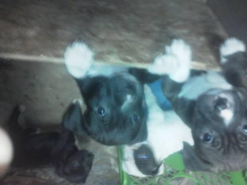 Pitt bull puppies