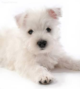 AKC Westie puppies for Sale in Richmond, Texas Classified