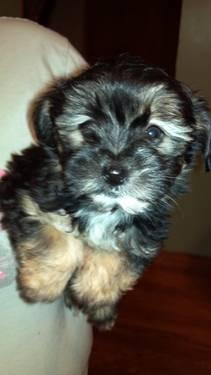 Morkie puppies for Sale in Cranberry, Pennsylvania