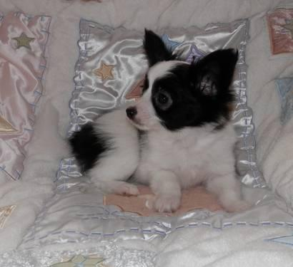 papillon AKC puppies