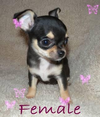 AKC Chihuahua puppies