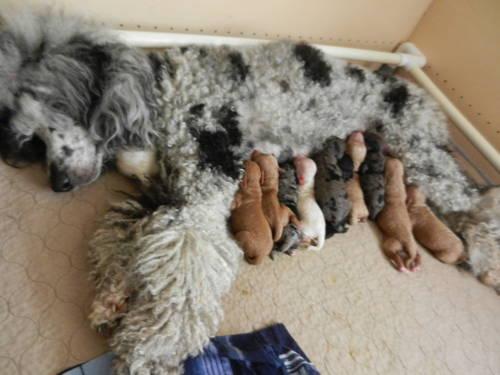 Mini Aussiedoodle Puppies for Sale in Rio Linda, California