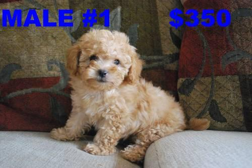 ADORABLE Maltipoo Puppies for Sale in Glendale, Arizona