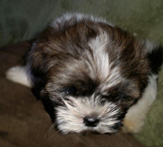 Shih Tzu Puppies,2male,1 female for Sale in Brick, New
