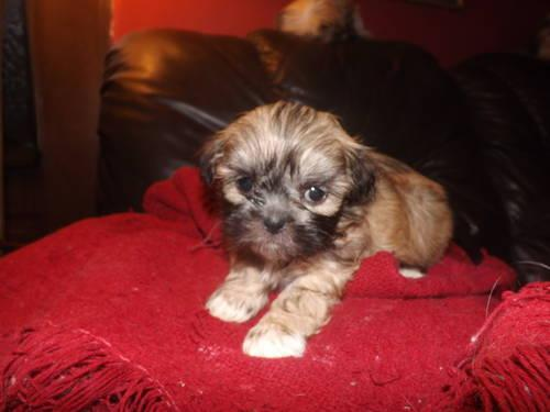 Imperial Shih Tzu Puppies For Sale In Somerville Alabama Classified