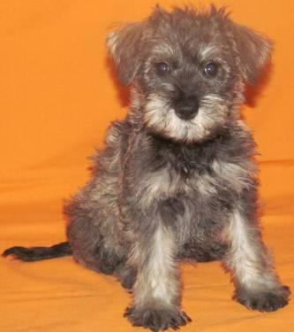 Schnoodle Puppies for Sale in Meriden, Minnesota Classified | HoodBiz ...