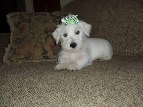 Westie Puppies For Sale In Michie Tennessee Classified Hoodbizorg