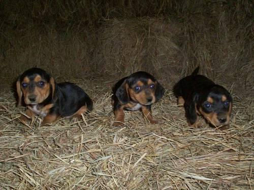 Babymini Dachshund Puppies For Sale In Winchester Virginia