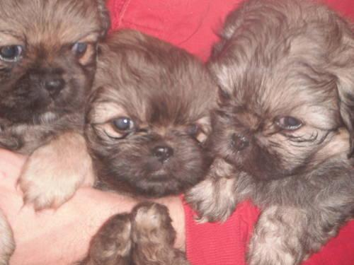 Peek A Poo Puppies For Sale In Southaven Mississippi Classified