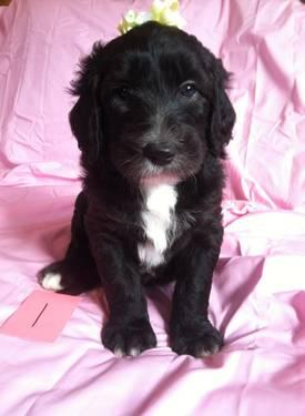 Sheepadoodle Puppies for Sale in Blue Ball, Ohio Classified