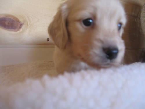 Miniature Dachshund Puppies For Sale In Crystal Michigan Classified