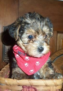 YORKIEPOO MALE PUPPIES for Sale in Middleton, Michigan