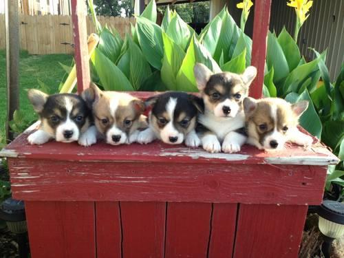 AKC Corgi Puppies