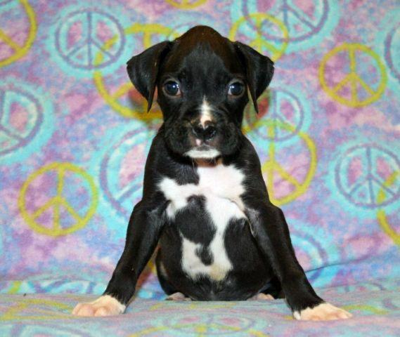 Akc Boxer Puppies For Sale In Slidell Louisiana Classified