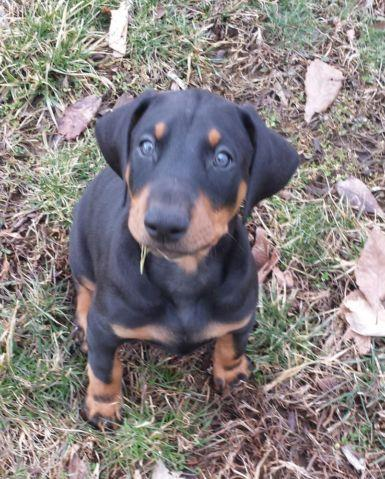 AKC DOBERMAN PUPPIES for Sale in Allensburg, Ohio Classified