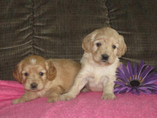Cockapoo Puppies for Sale in London, Ohio Classified | HoodBiz org