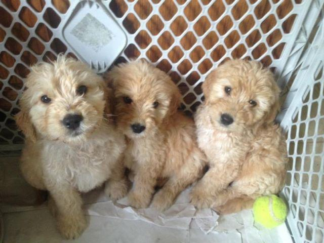 Goldendoodle puppies for Sale in Ronkonkoma, New York
