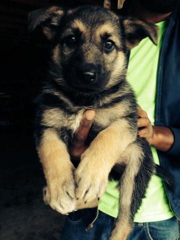 German shepherd puppies for Sale in Baltic, Connecticut