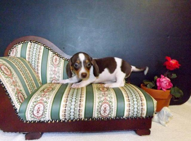 Miniature Dachshund Puppies For Sale In Alpine Kentucky Classified