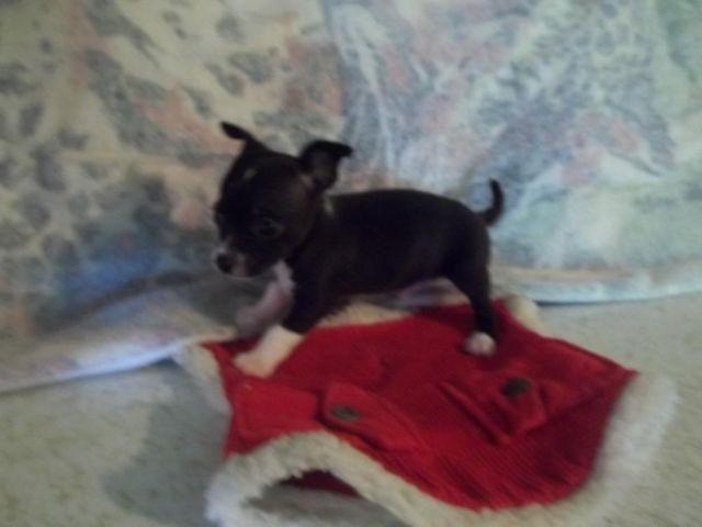 Teacup chihuahua puppies for Sale in Mayport, Pennsylvania