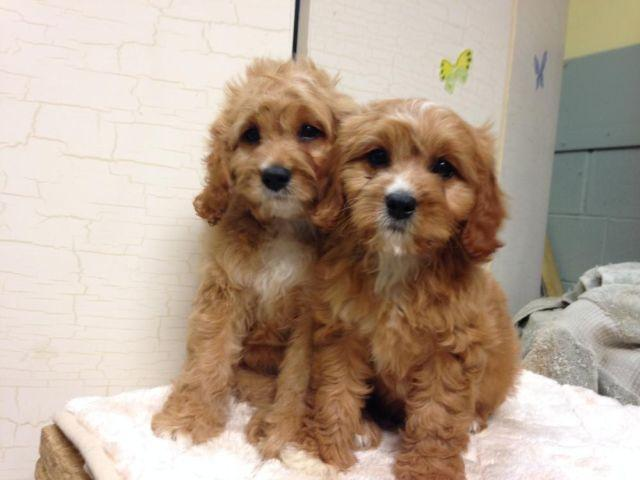 Cavapoo Puppies for Sale in Fort Lee, New Jersey Classified