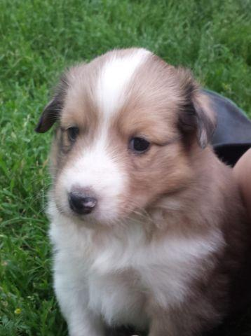 Sheltie Puppies For Sale In Howard Lake Minnesota Classified